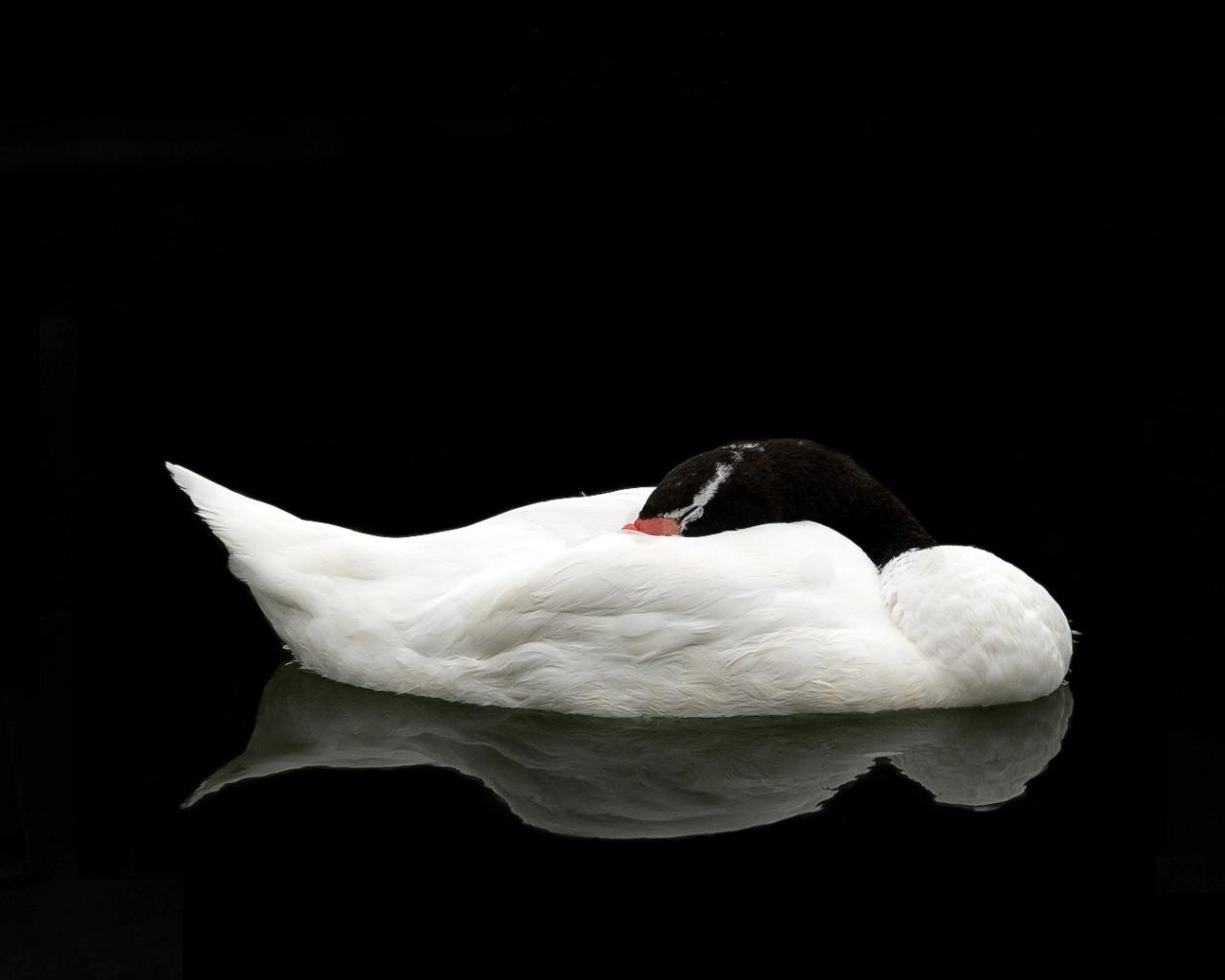 Черный стеклянный лебедь  № 3137111 загрузить