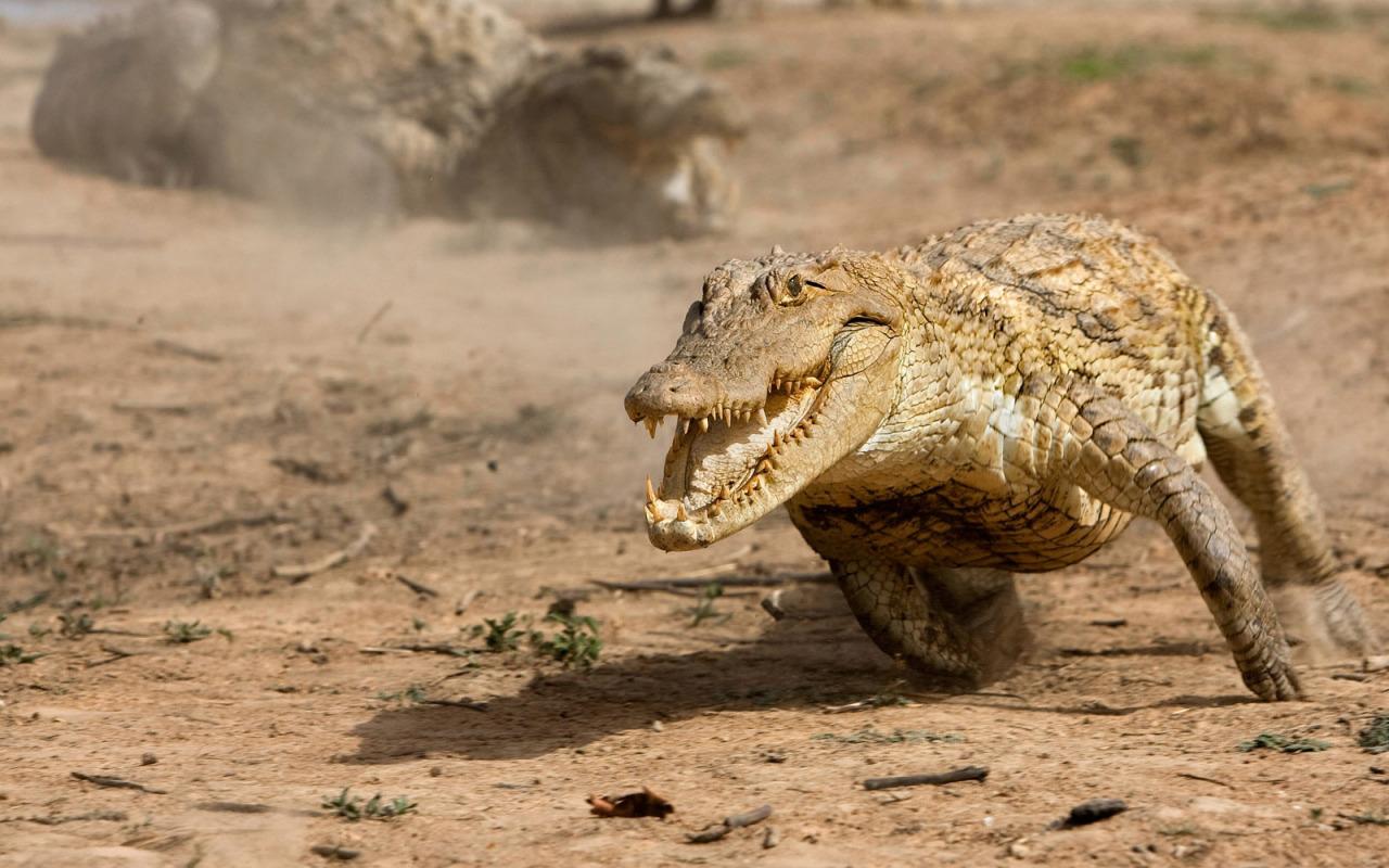 Маленький аллигатор  № 1381857 без смс