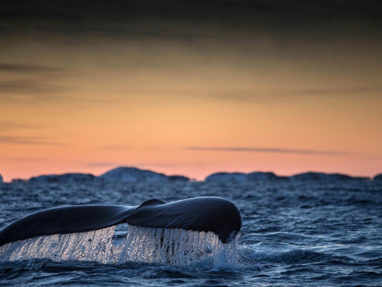 можно картинки и фото китов в океане также пропорциями