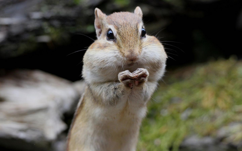 Смешные картинки бурундуков с набитым ртом