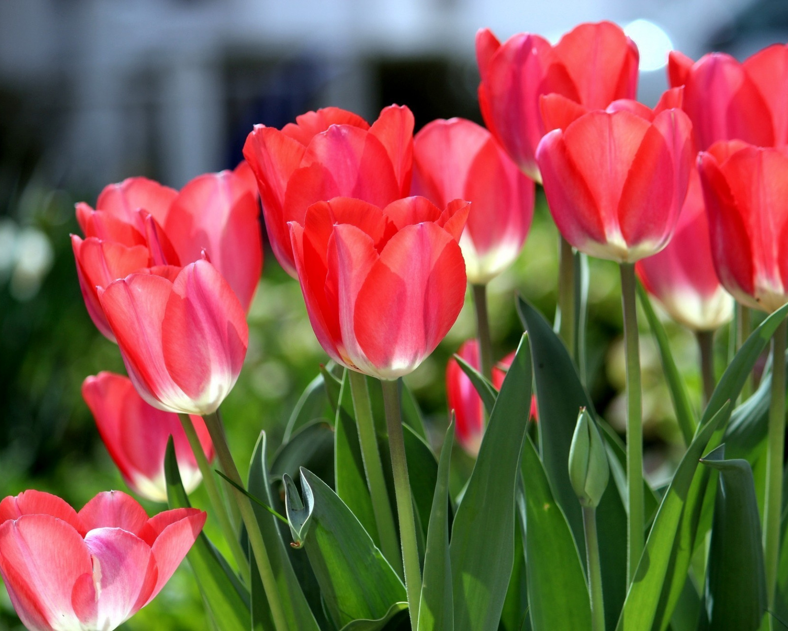 Тюльпан в картинках