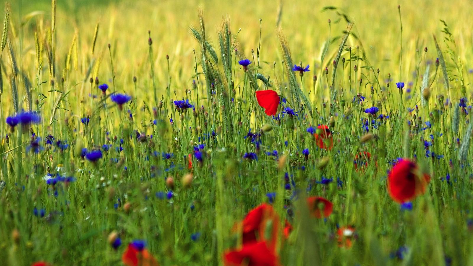 зеленые колосья цветы поляна  № 3213930 без смс