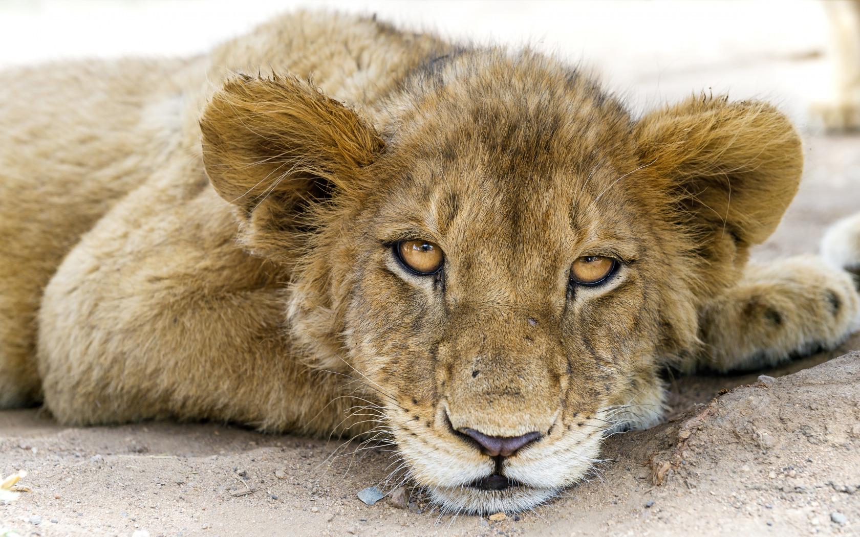 День, картинки про львенка смешные