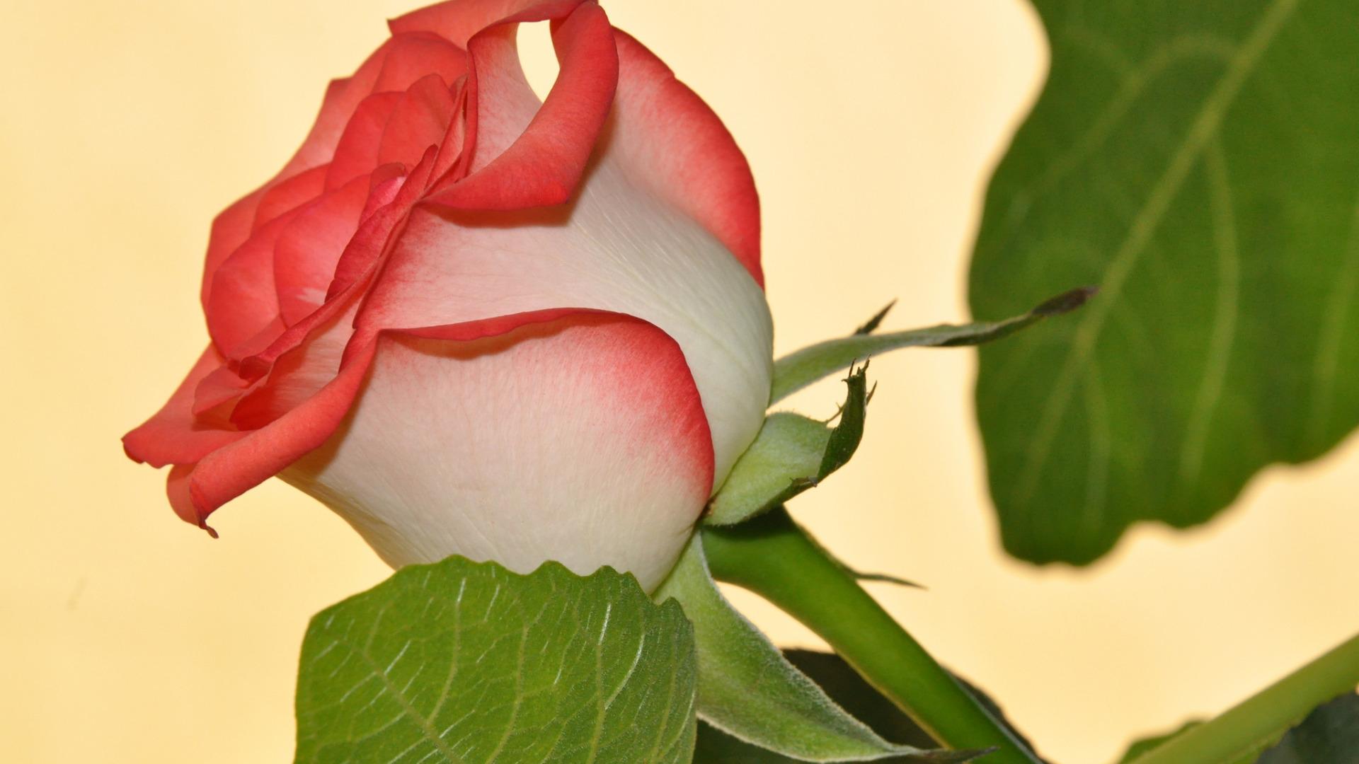 роза,лепестки,листья  № 705653  скачать