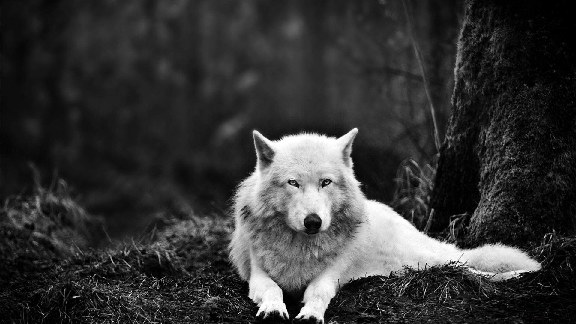 картинки волка одиночки черно белый на рабочий стол