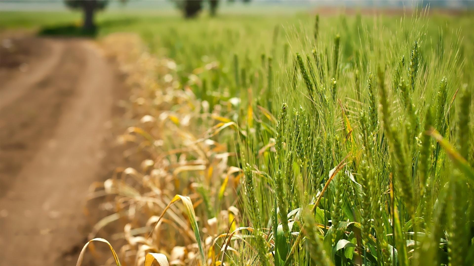 Подруге гиф, картинки лето поле пшеницы