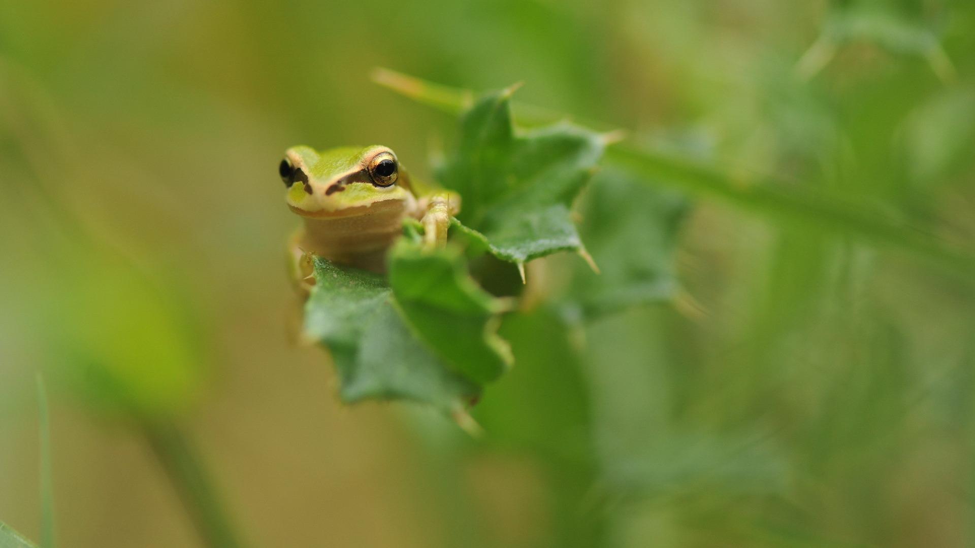 растение лягушка животное природа лист  № 1423108 бесплатно