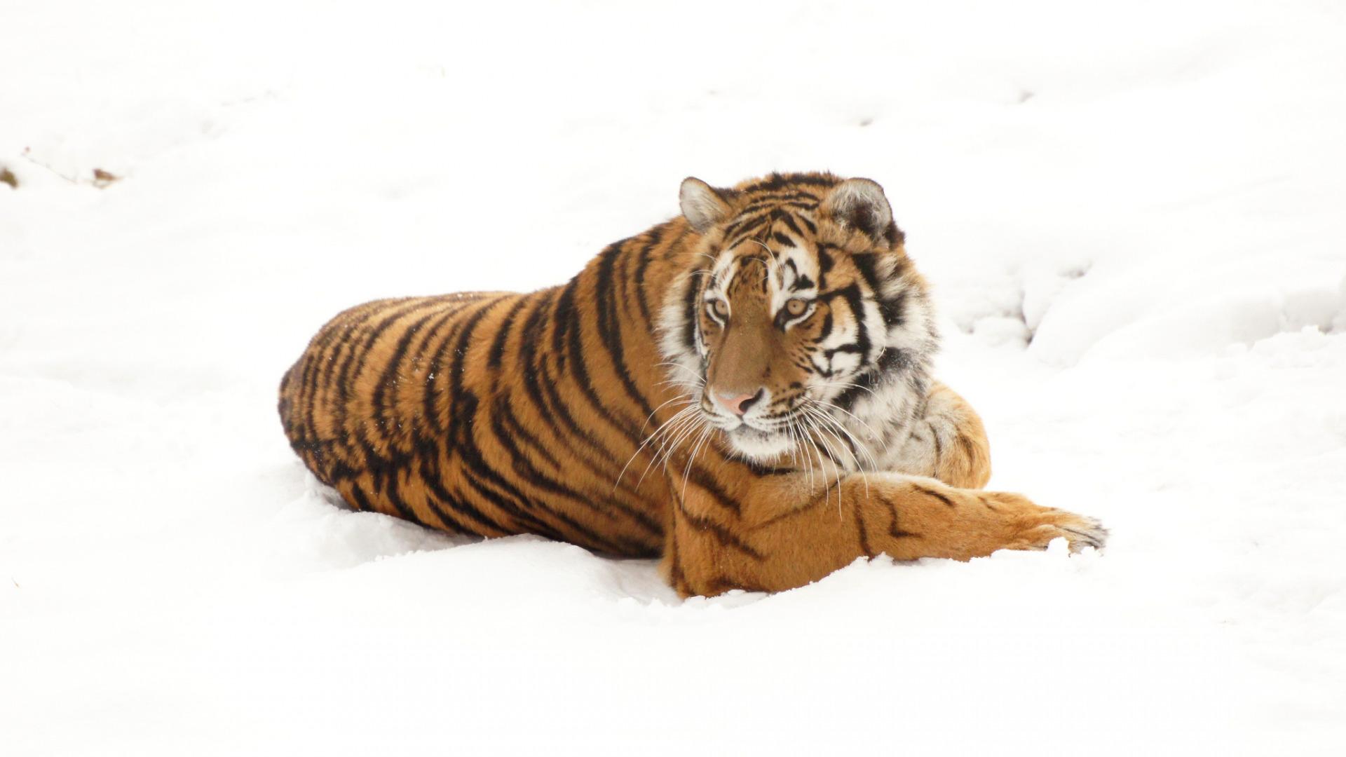 белый тигр на снегу  № 988895  скачать