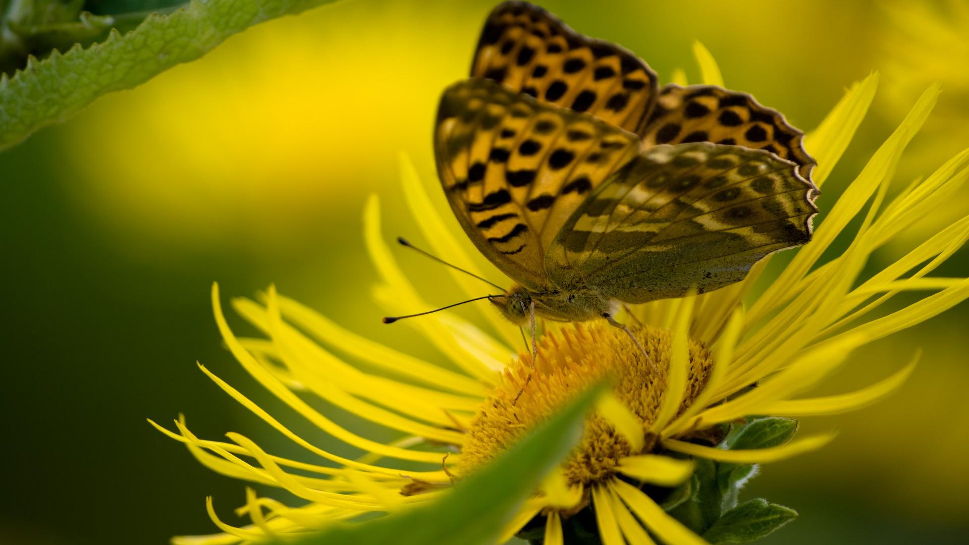 природа макро бабочка цветы желтые  № 1238596  скачать