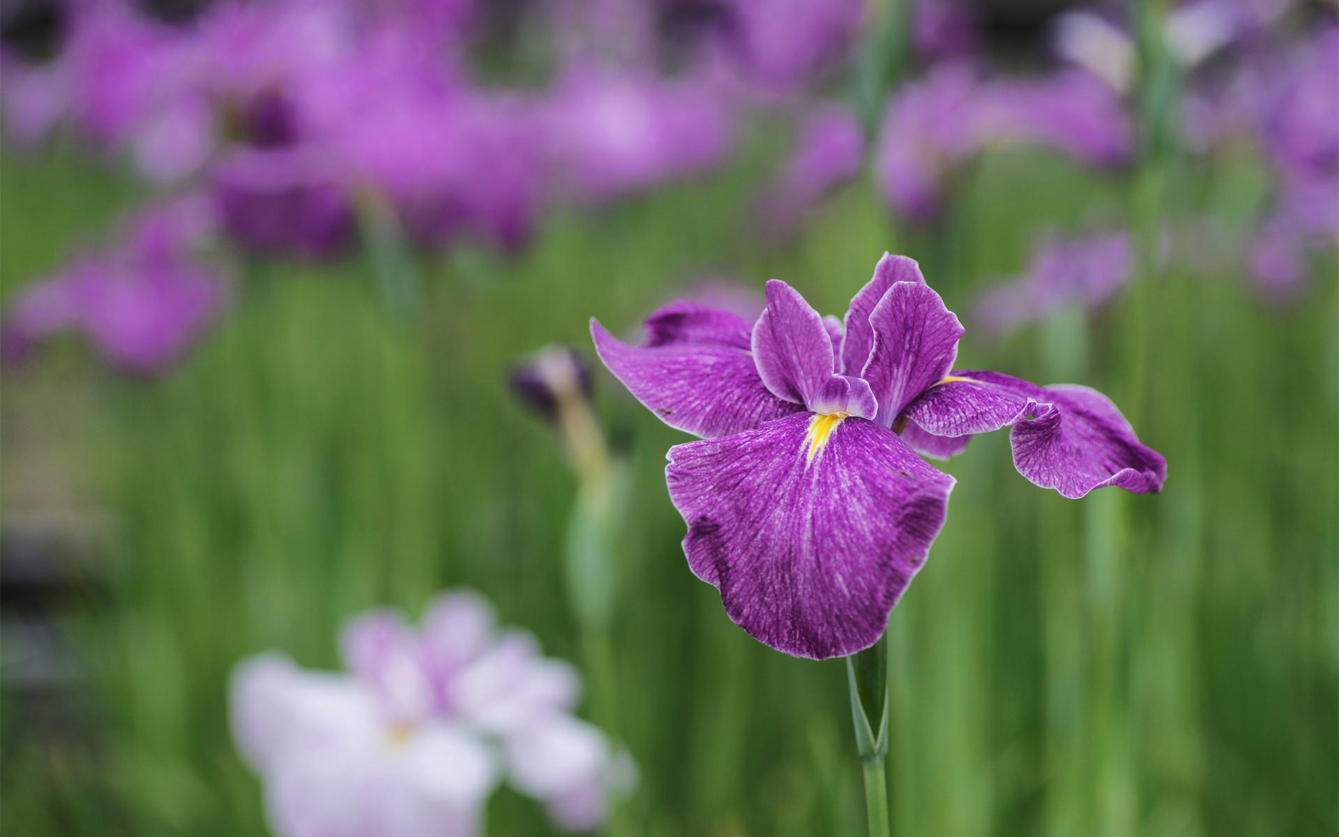 шмель,ирис,цветок,лето  № 529631 бесплатно