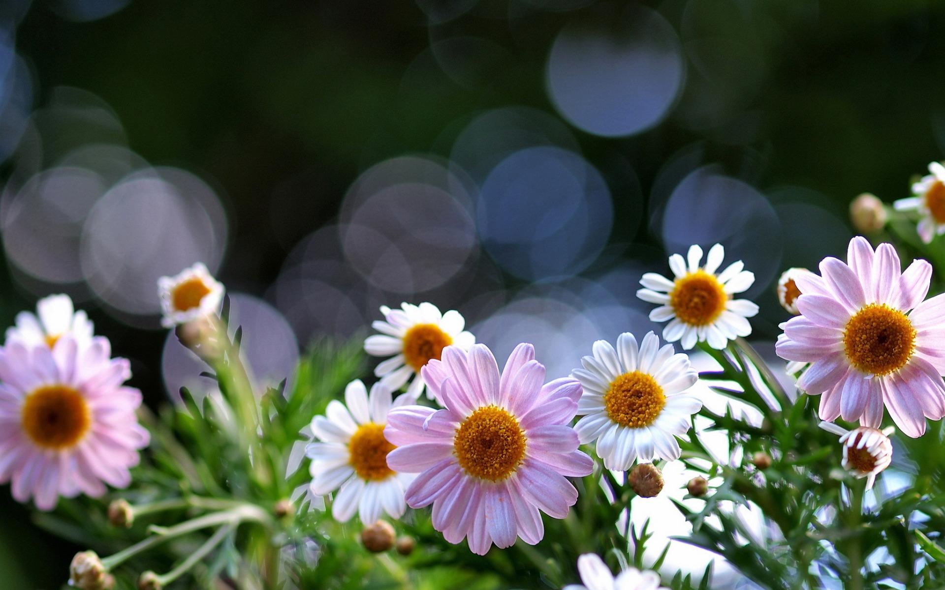 ромашки розовые белые chamomile pink white  № 1038004 бесплатно