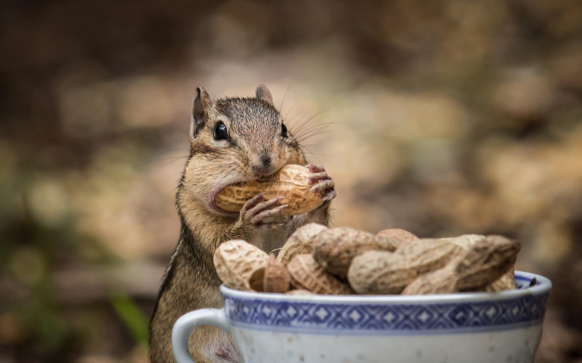 бурундук с арахисом  № 136379 без смс