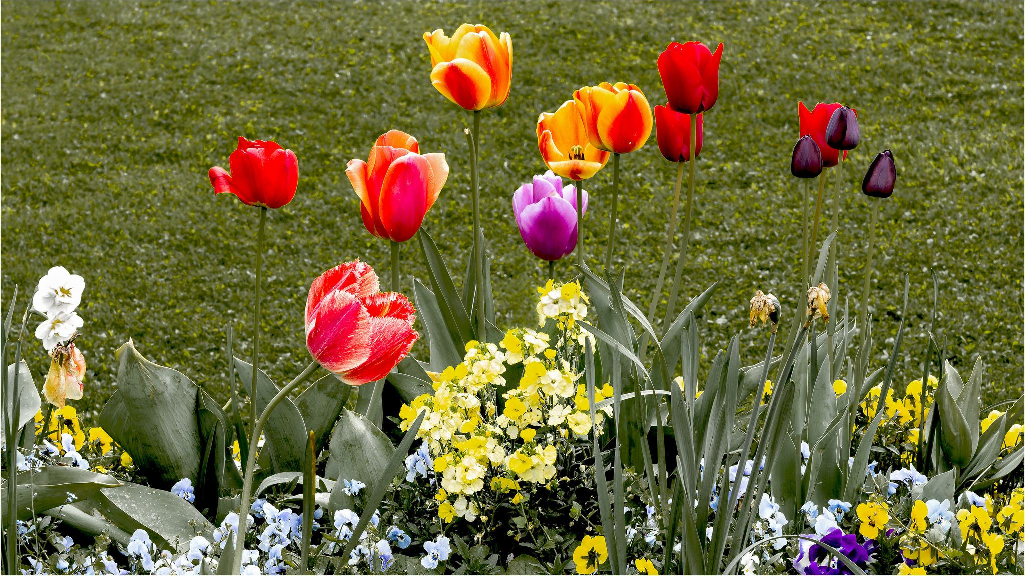 тюльпаны клумба  № 1349360 бесплатно