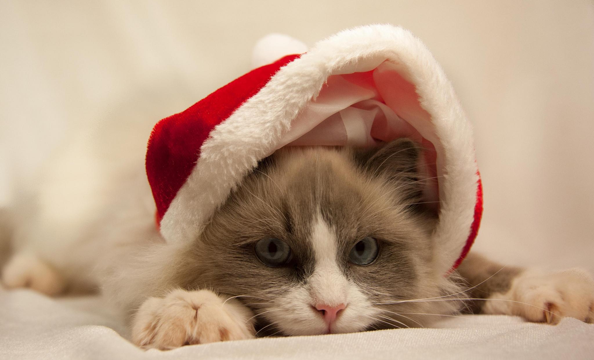 фото котиков в шапочках новогодних обратить