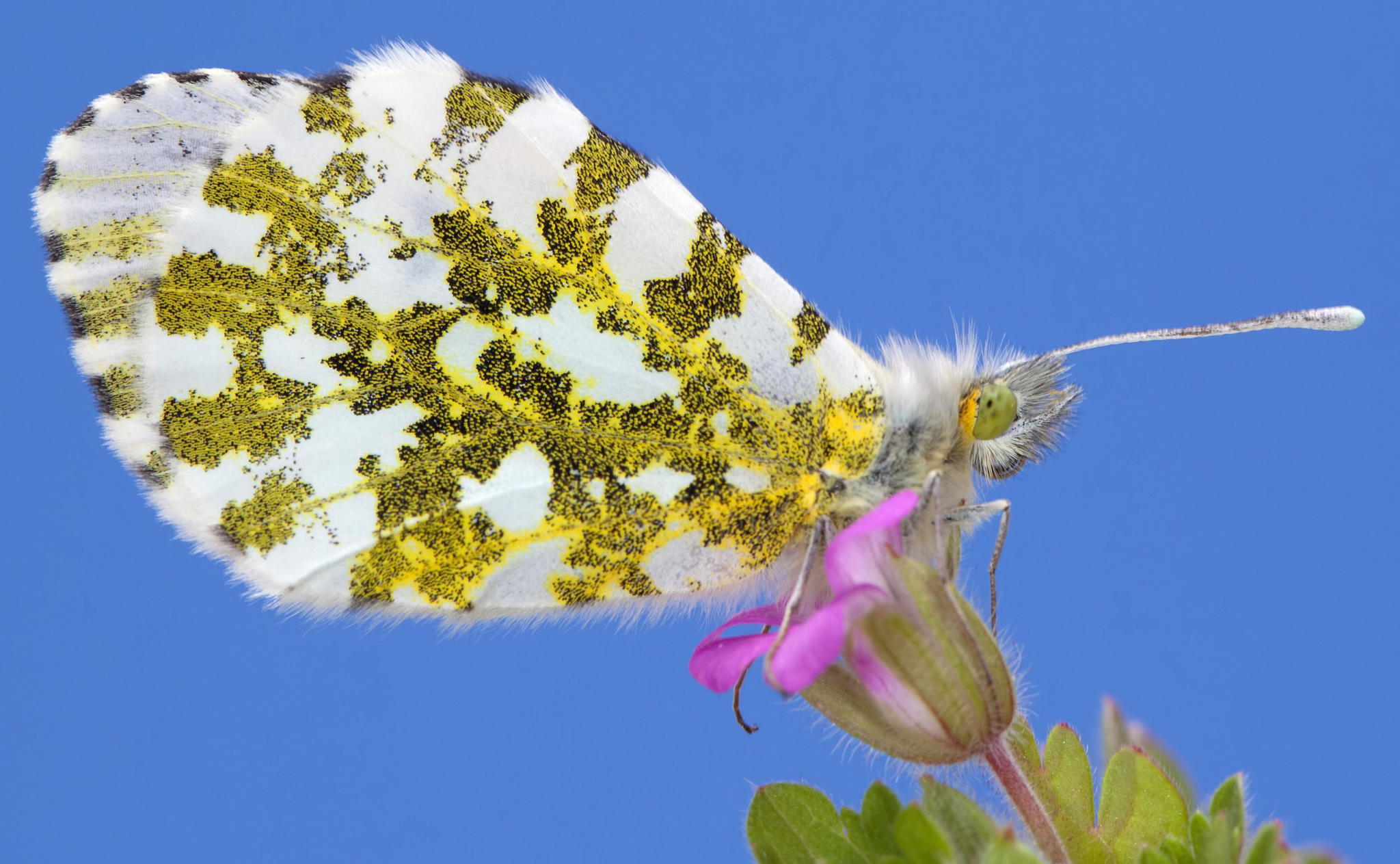 Растение цветок бабочка мотылек