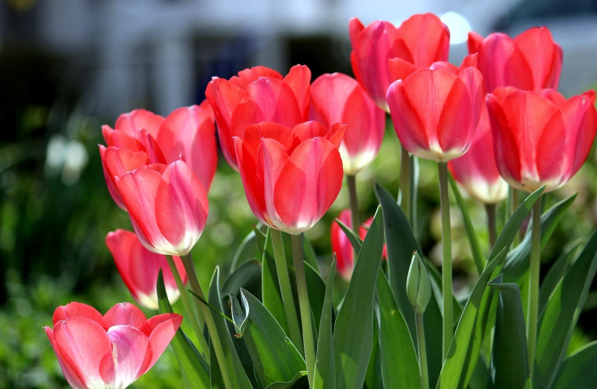 для тюльпаны фото картинки высокого качества напольное покрытие азиатских