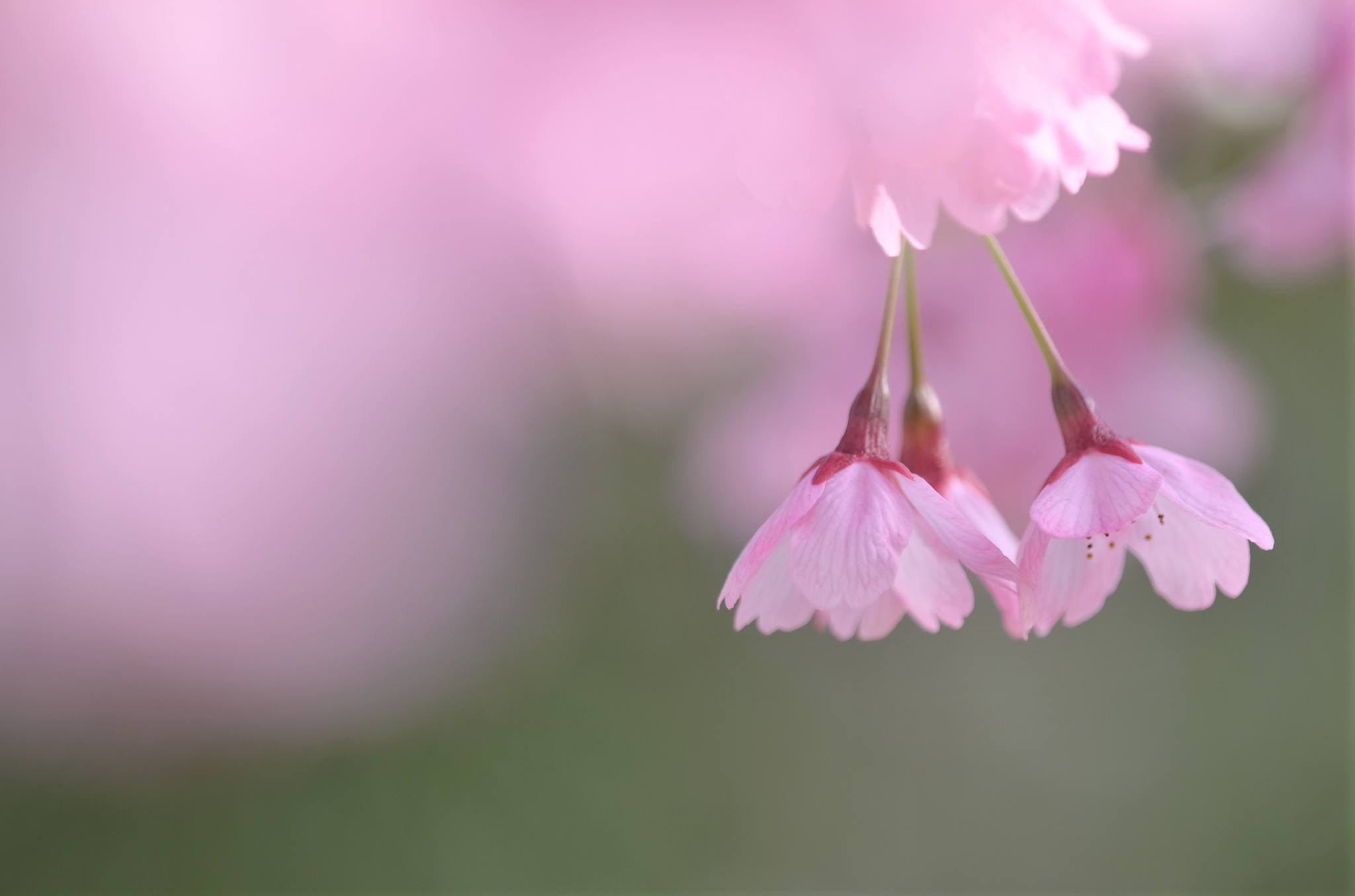 Опавшие лепестки цветения  № 3170422 без смс