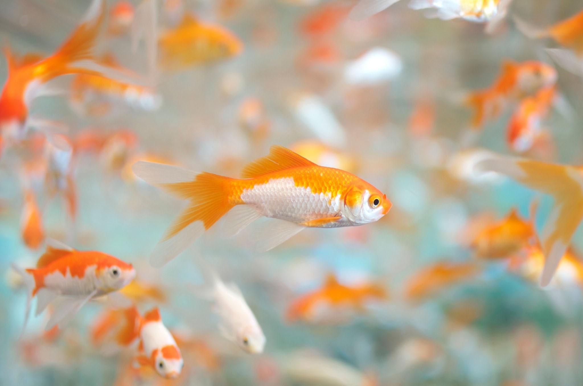 Обои На Стол Рыбки