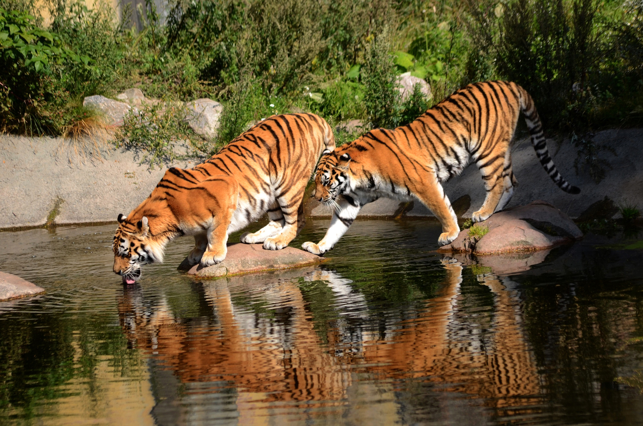 Bengal tiger cats information