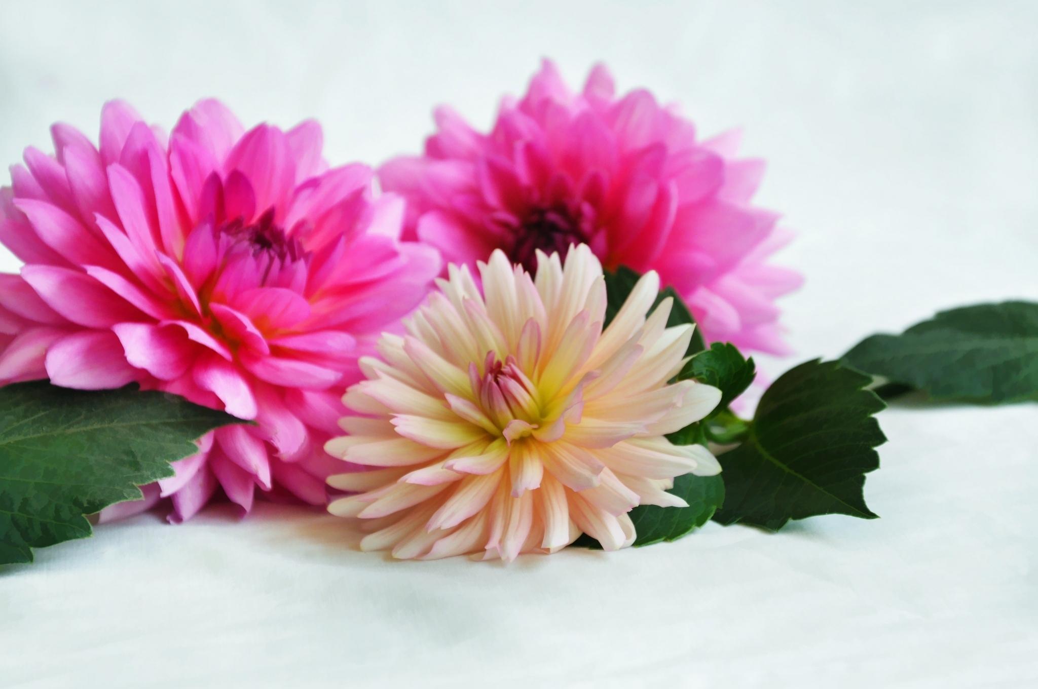 Открытки цветов хризантемы, наступающим праздником наурыз