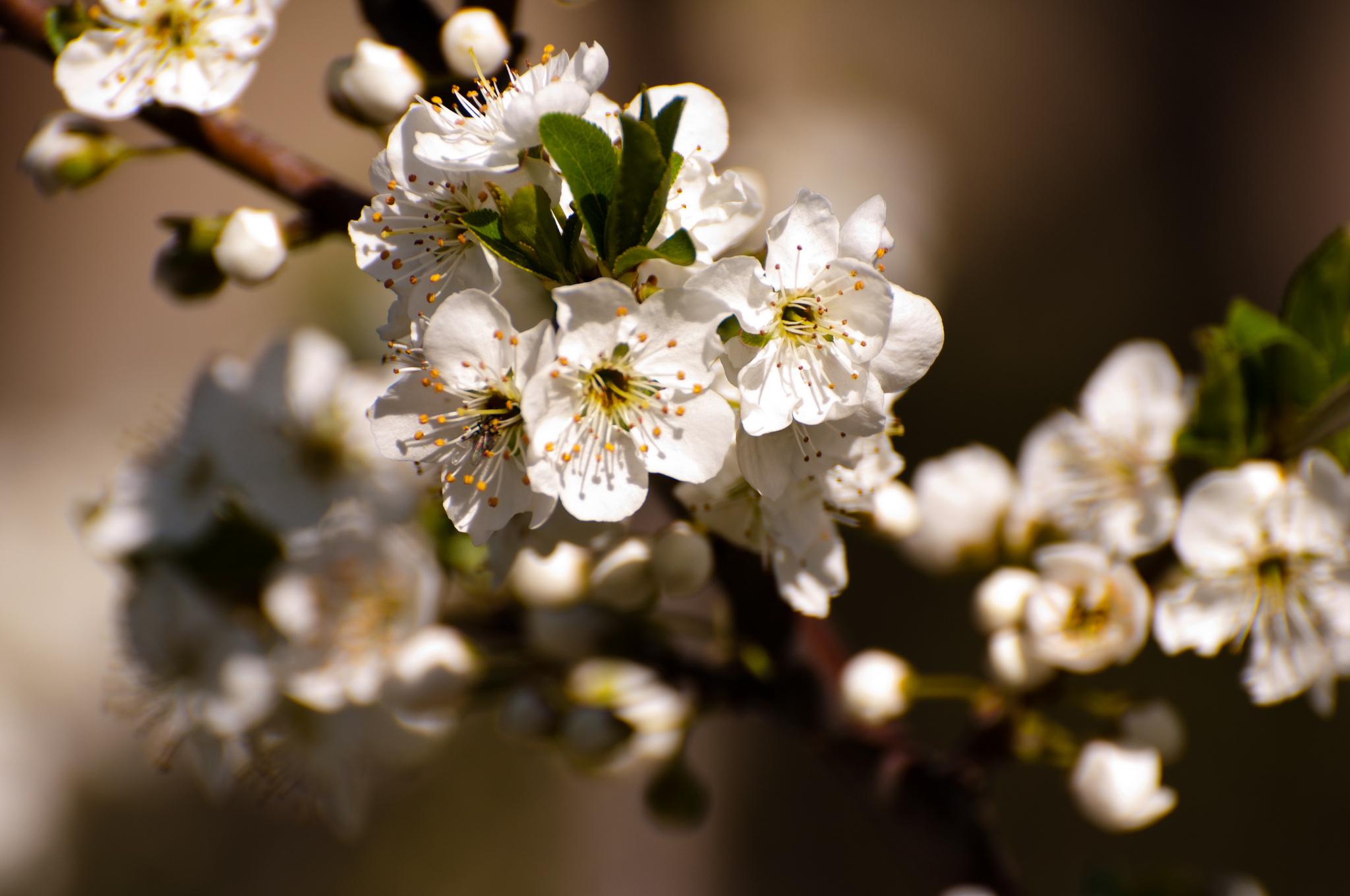 показать фотообои три д цветущей вишни ветки