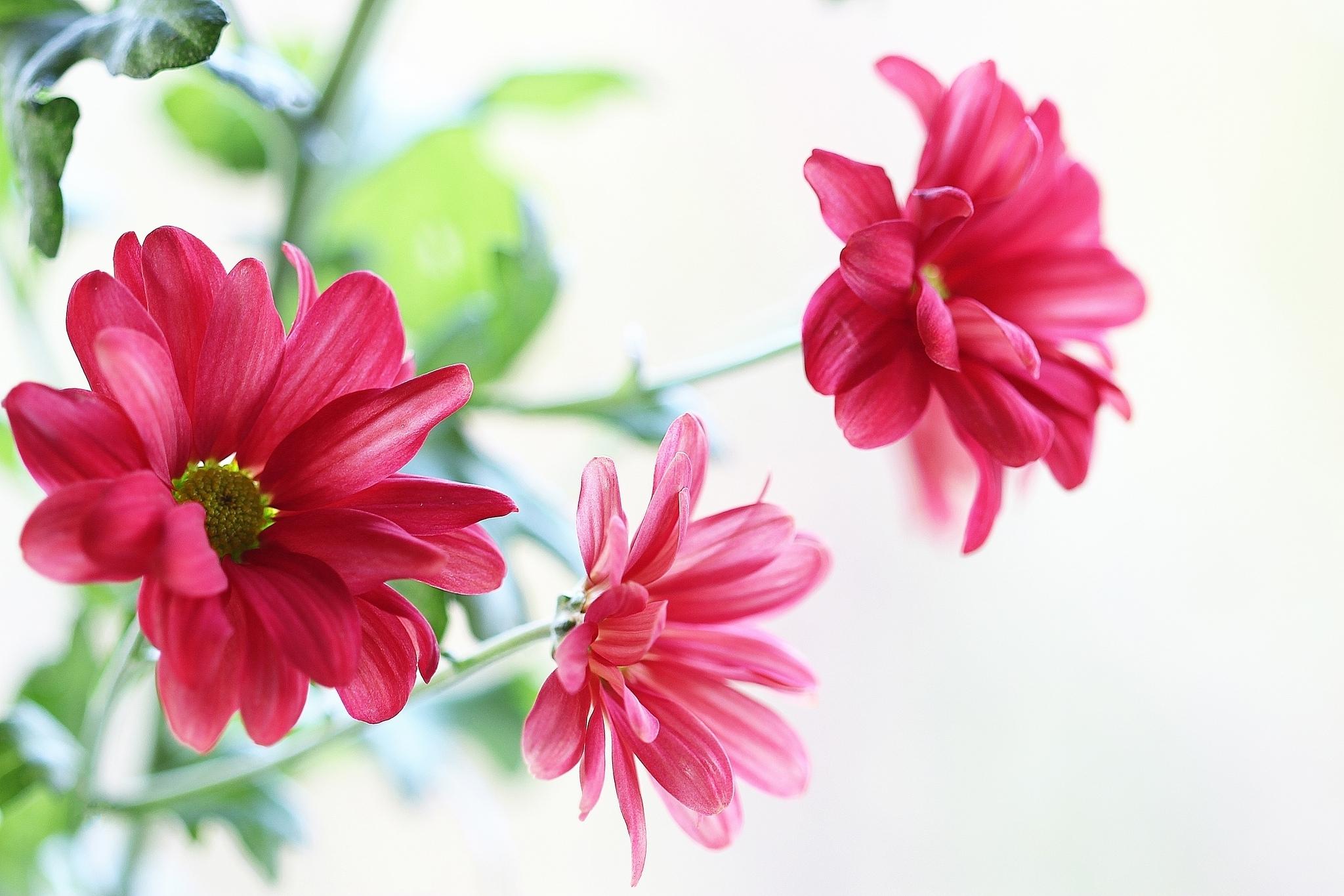 хризантема цветы  № 1353149 бесплатно