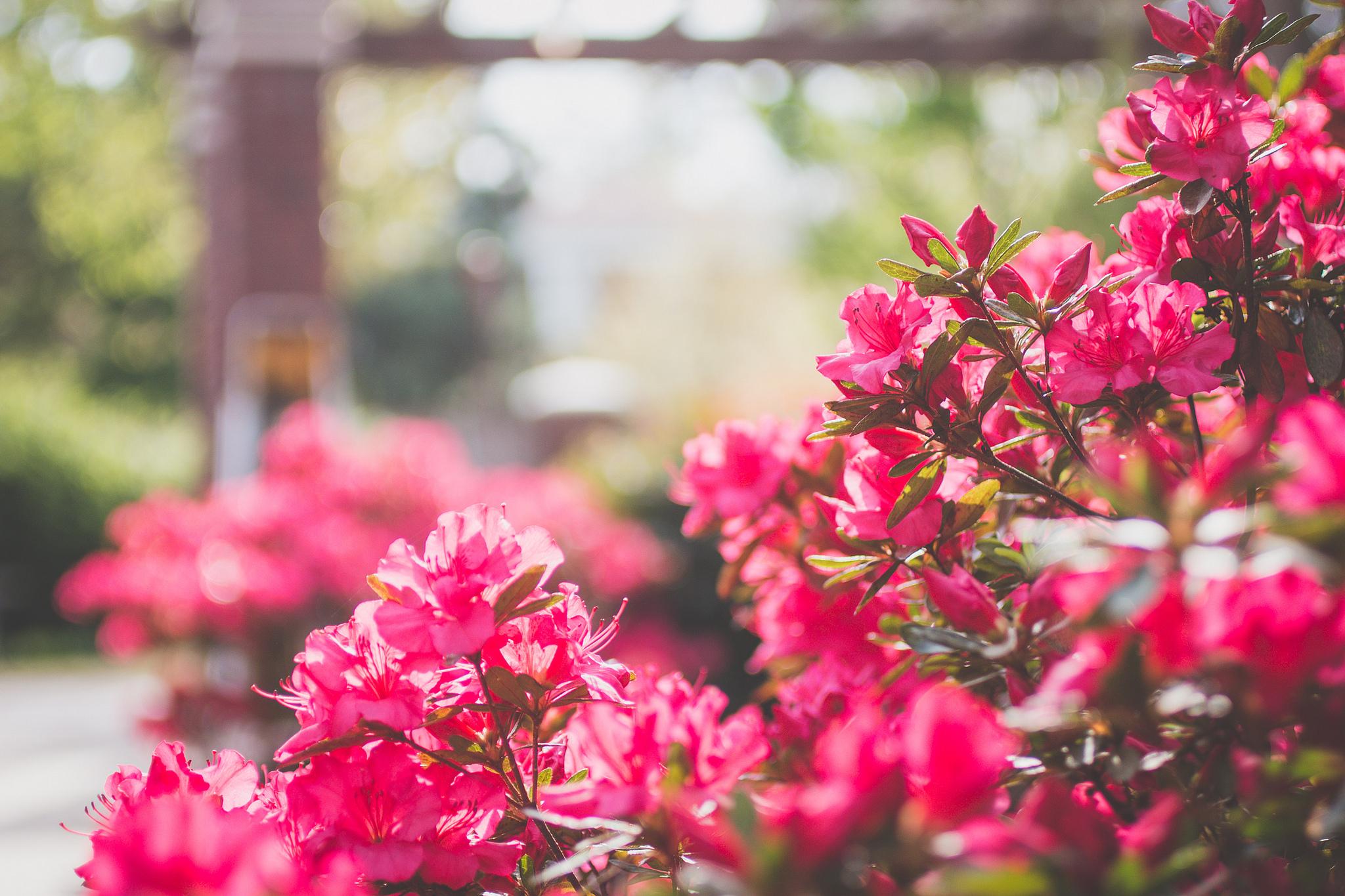 Кустик с розовыми цветами