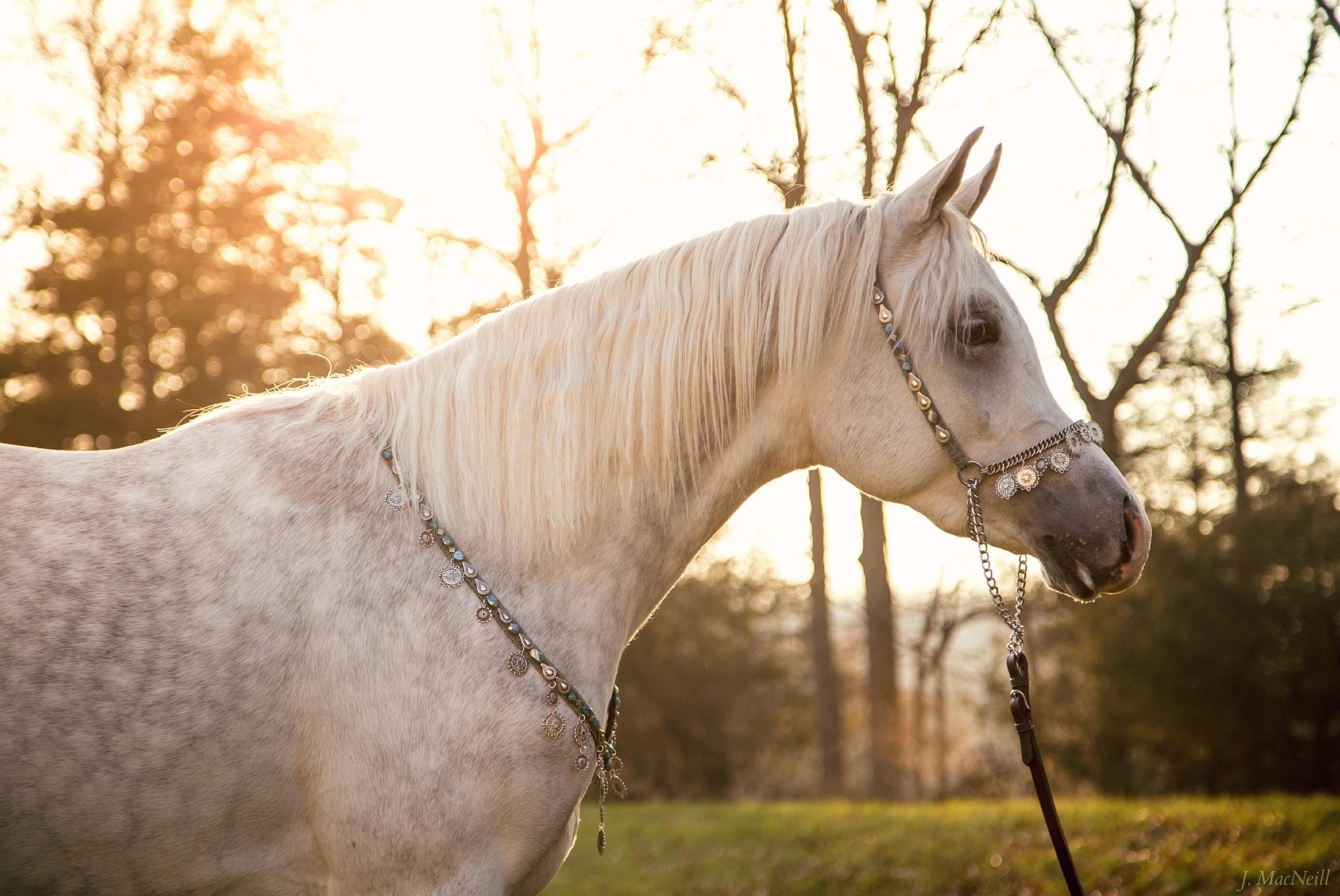 арабская лошадь обои на рабочий стол № 542004 загрузить