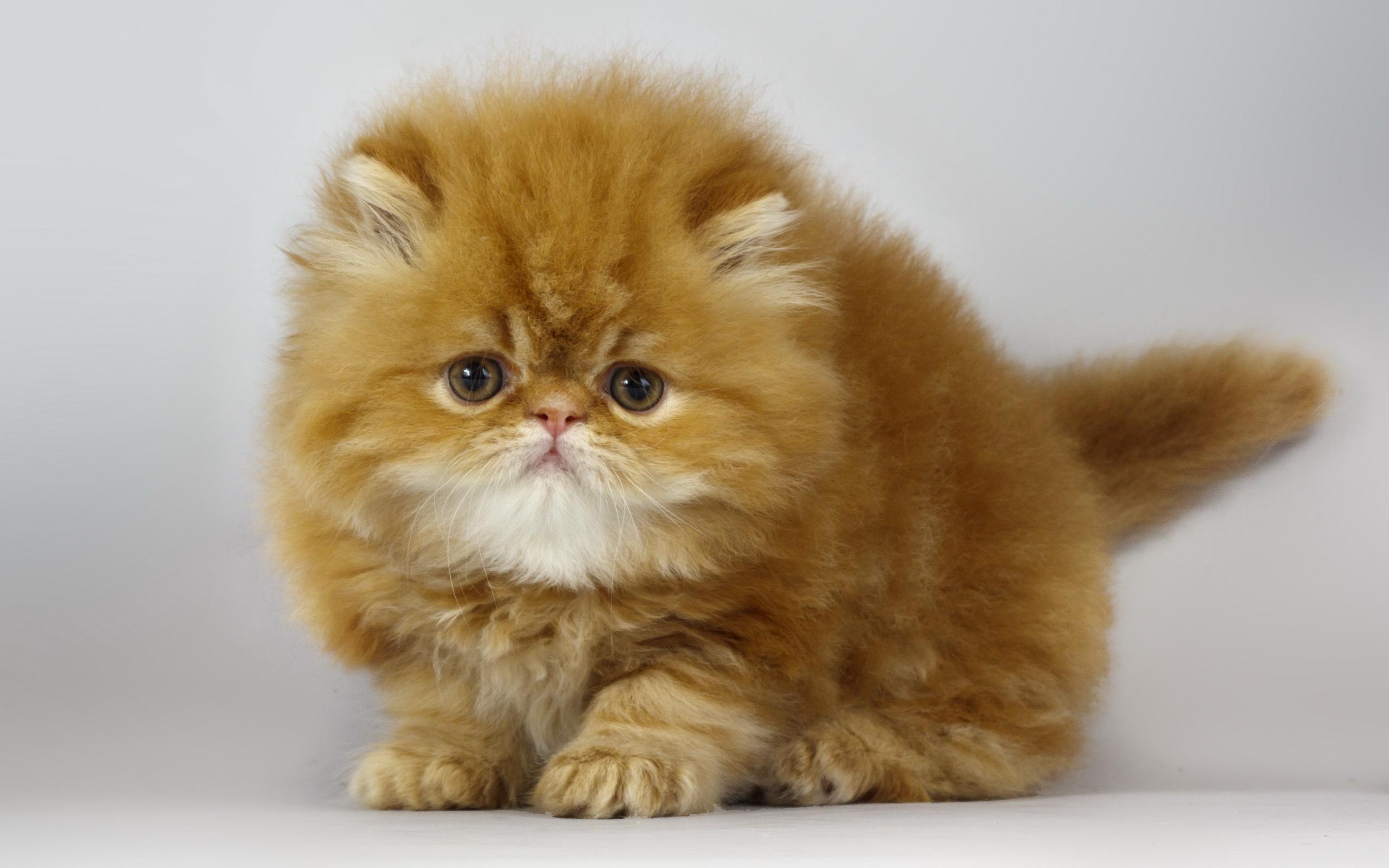 обои кошки для рабочего стола персы № 623730 загрузить