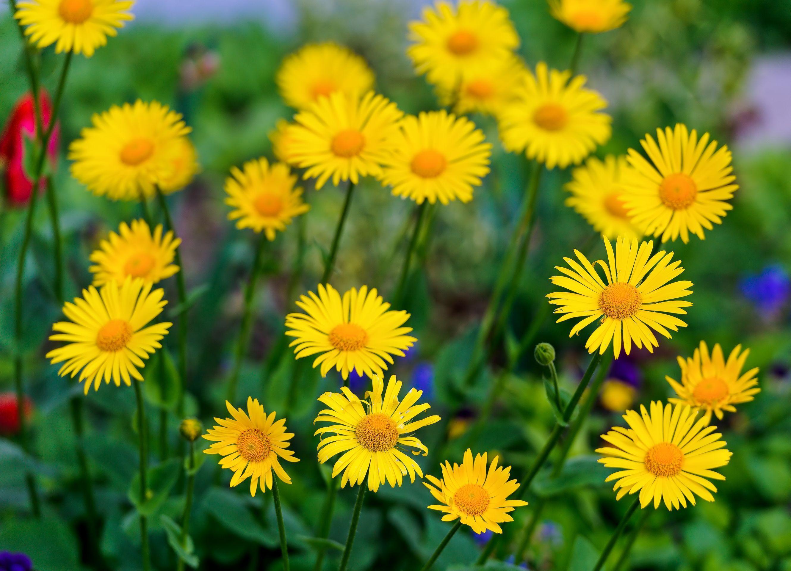 Желтые ромашки цветы желтые цветы размытость  № 3830985 бесплатно
