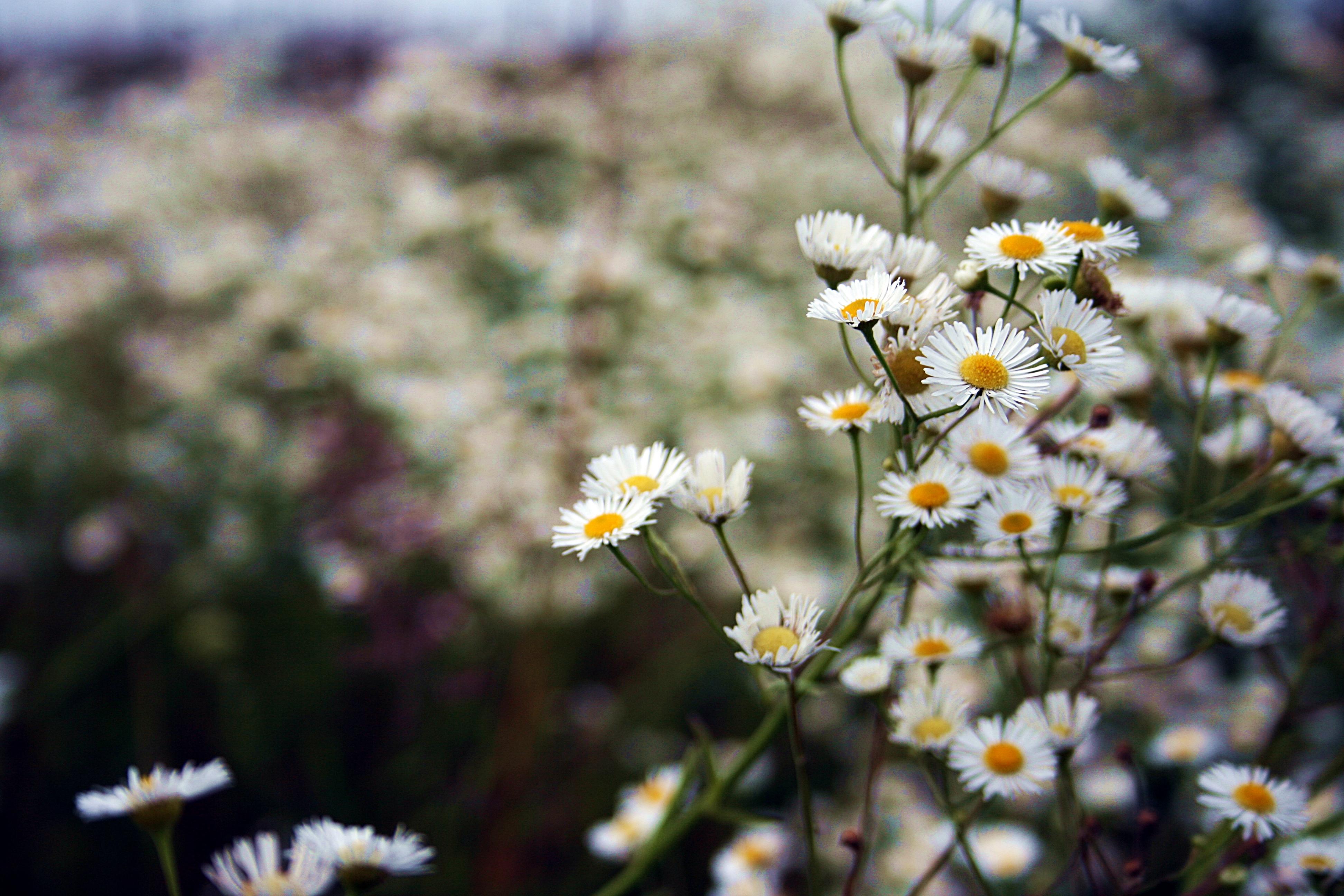 ромашка цветы фокус  № 1096471 без смс