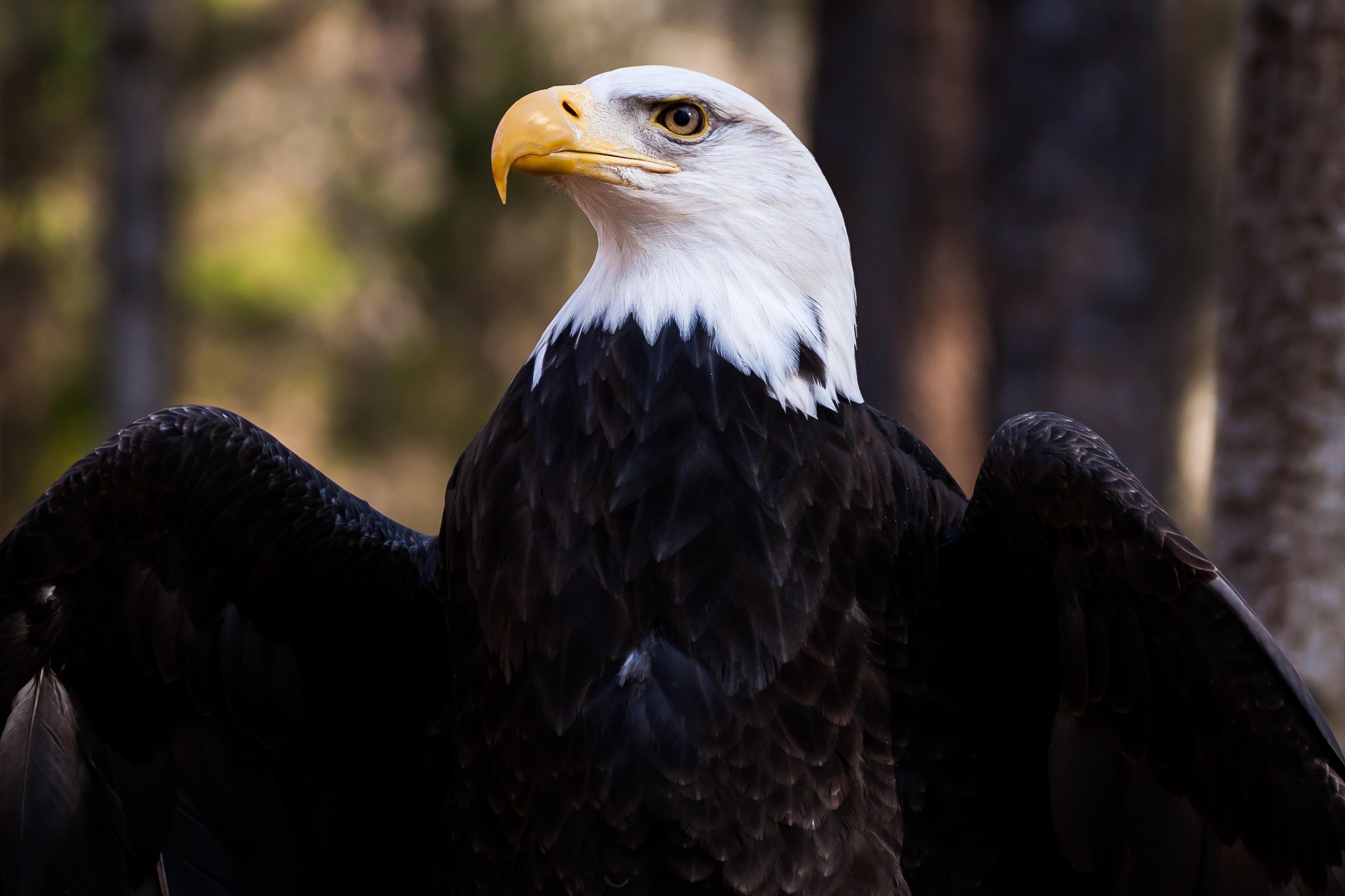 Картинки, орел в картинках птица