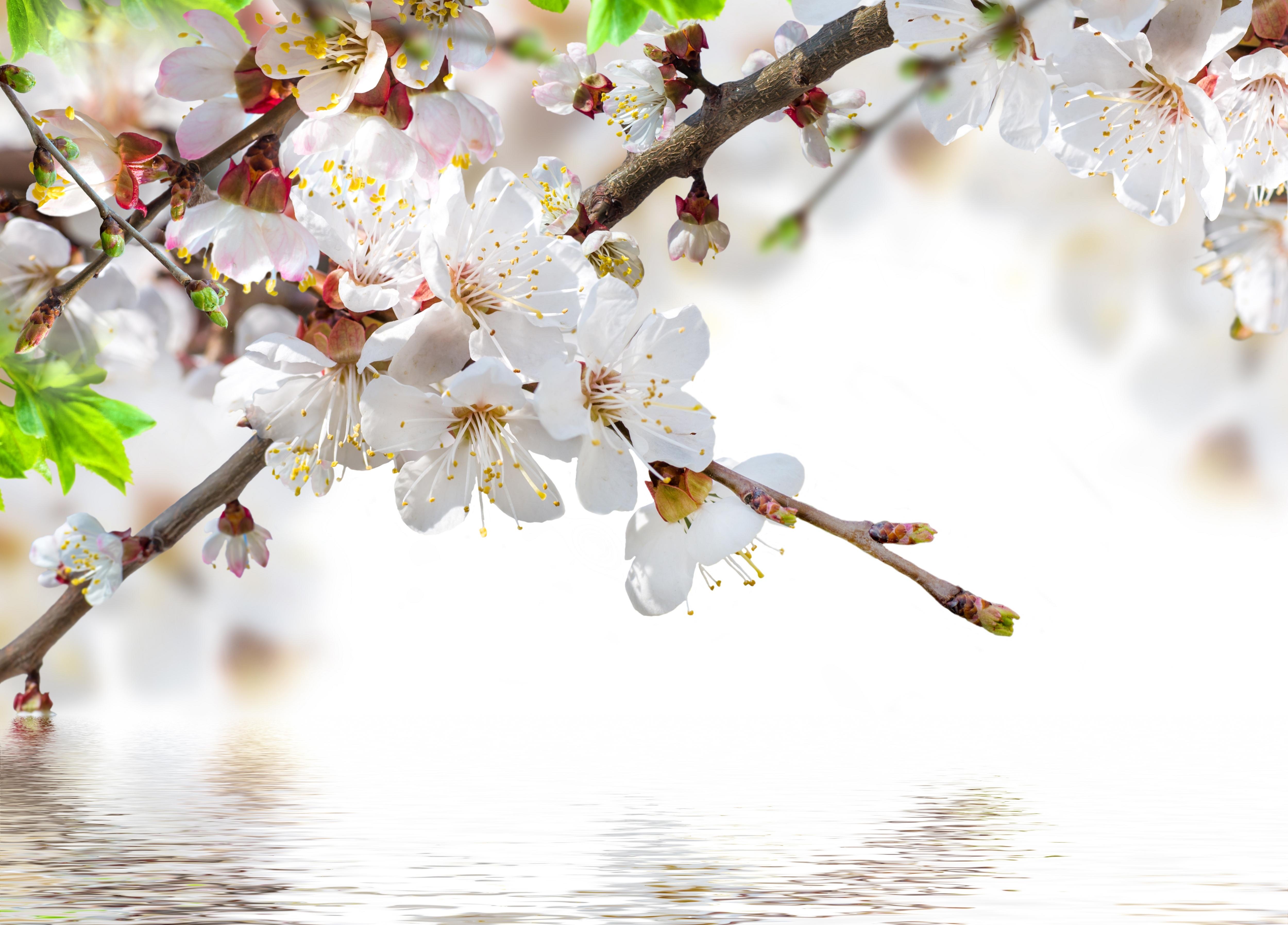 показать фотообои три д цветущей вишни ветки зависит модели