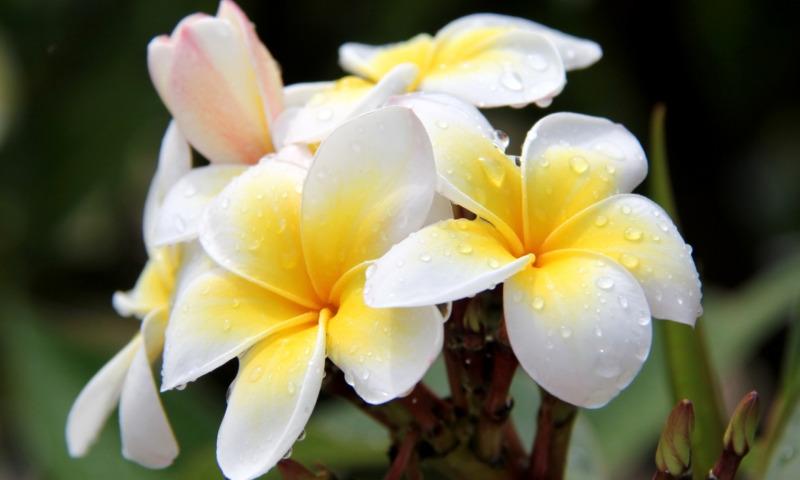 Фото цветов плюмерии