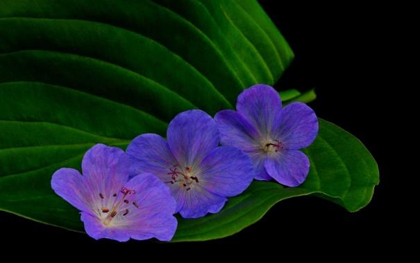 Фото обои темный фон, листик, синие цветы