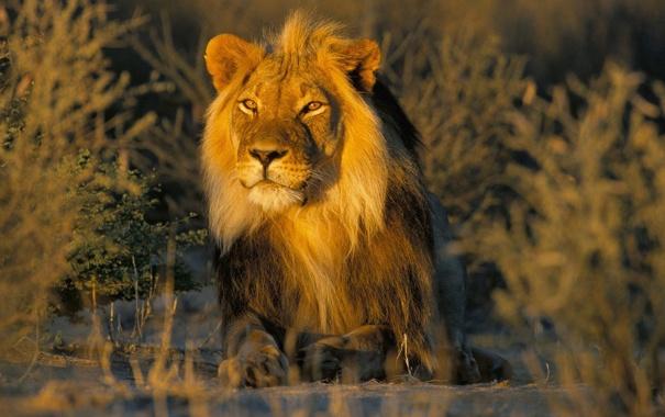 Фото обои лев, грива, самец