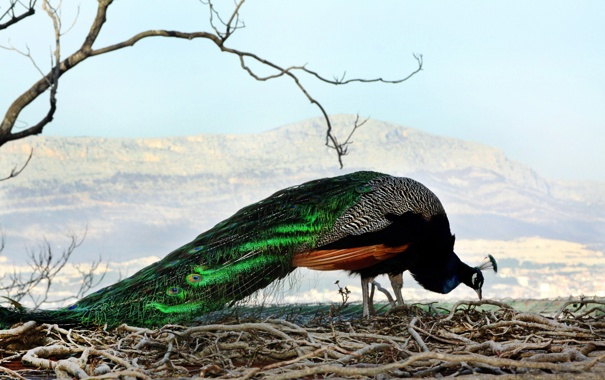 Фото обои перья, павлин, ХВОСТ, красавец, самец, ОКРАСКА, птицА