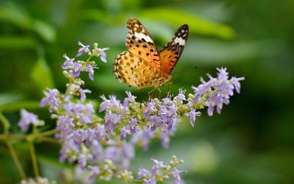 Фото обои макро, цветы, бабочка, Аргирей