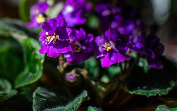 Фото обои цветок, листья, горшок, фиолетовая, фиалка, сенполия