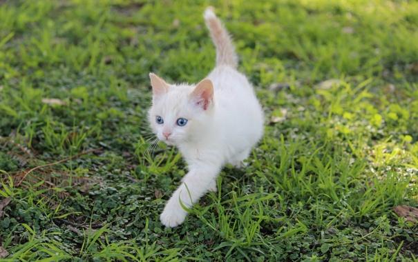 Фото обои белый, трава, котенок, голубоглазый