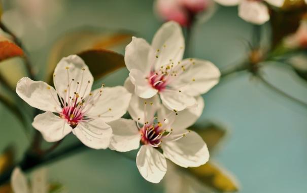 Фото обои cherry blossom, вишня, ветви, цветение, лепестки, flower, цветы