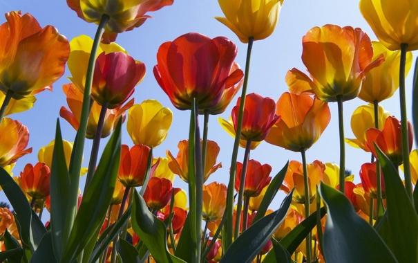 Фото обои цветы, обои, тюльпаны