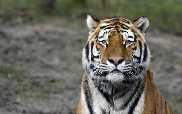 Фото обои кошка, морда, тигр, амурский