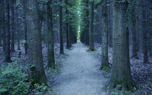 Фото обои forest, trees, oak, allee