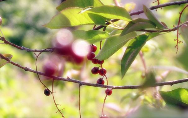 Фото обои листья, ветки, черемуха