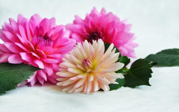 Фото обои цветы, хризантемы, flowers, листики, leaves, chrysanthemums