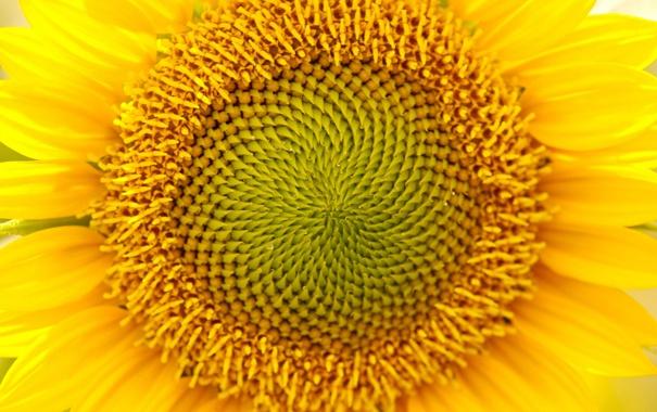 Фото обои цветок, желтый, природа, растение, подсолнух, лепестки