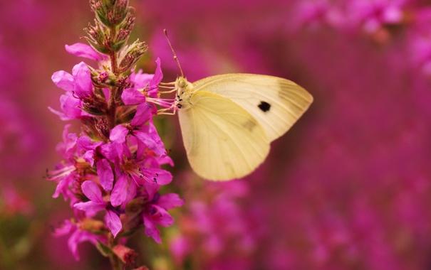 Фото обои цветок, природа, нектар, бабочка, крылья, насекомое