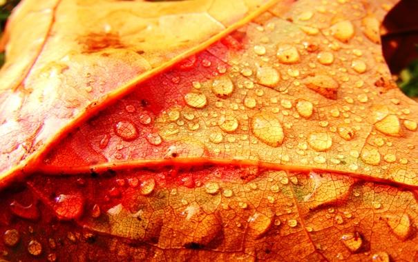 Фото обои осень, капли, лист, colorful leaf and drops