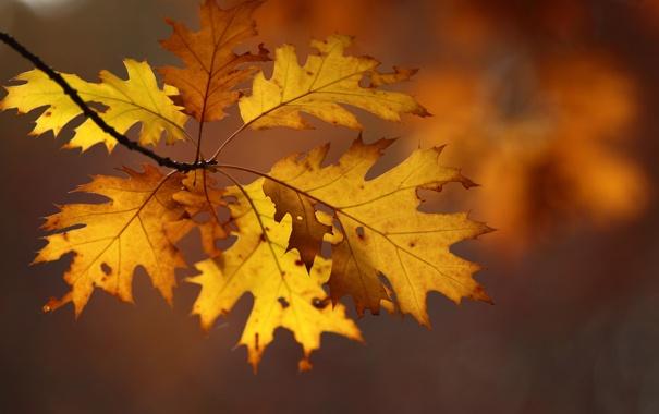 Фото обои листья, ветка, осенние, дубовые